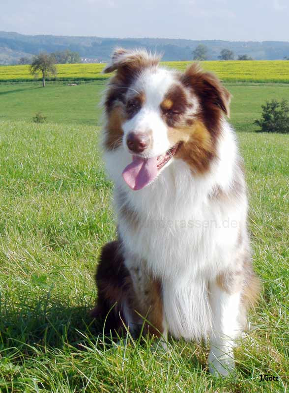 australian shepherd. Black Bedroom Furniture Sets. Home Design Ideas