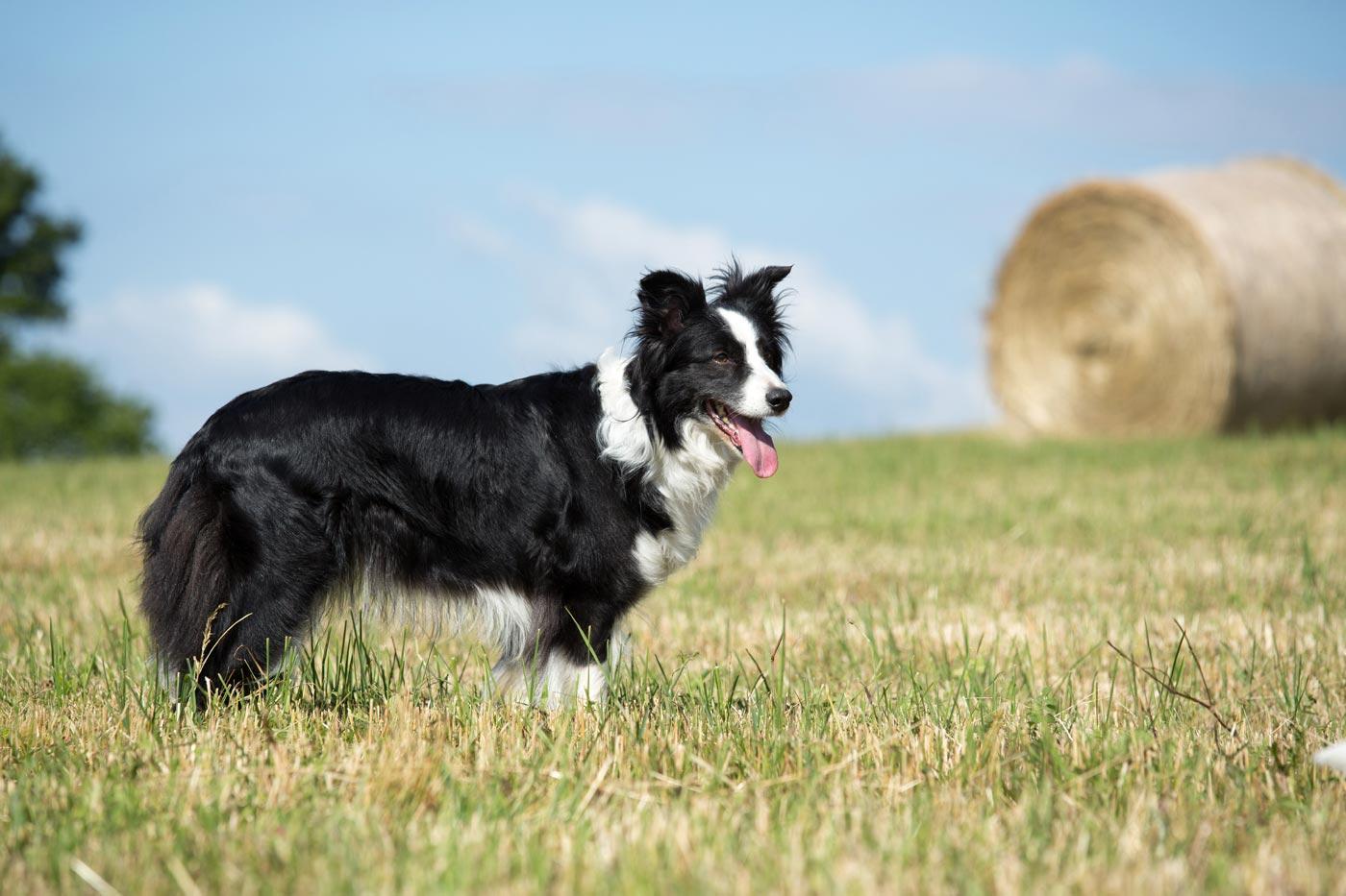 Schottische Hunde