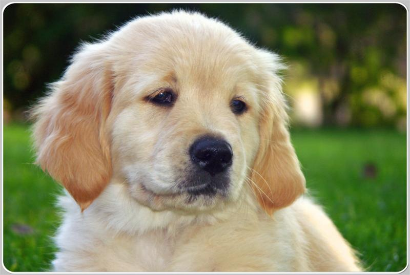 Red Golden Retriever Dogs For Sale