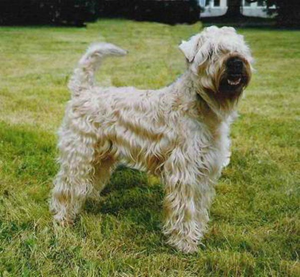 irish soft coated wheaten terrier. Black Bedroom Furniture Sets. Home Design Ideas