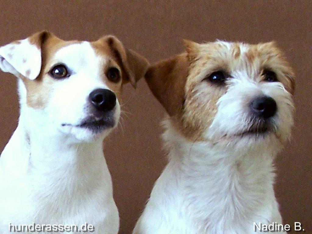 Jack Russell Terrier | 1024 x 768 jpeg 115kB
