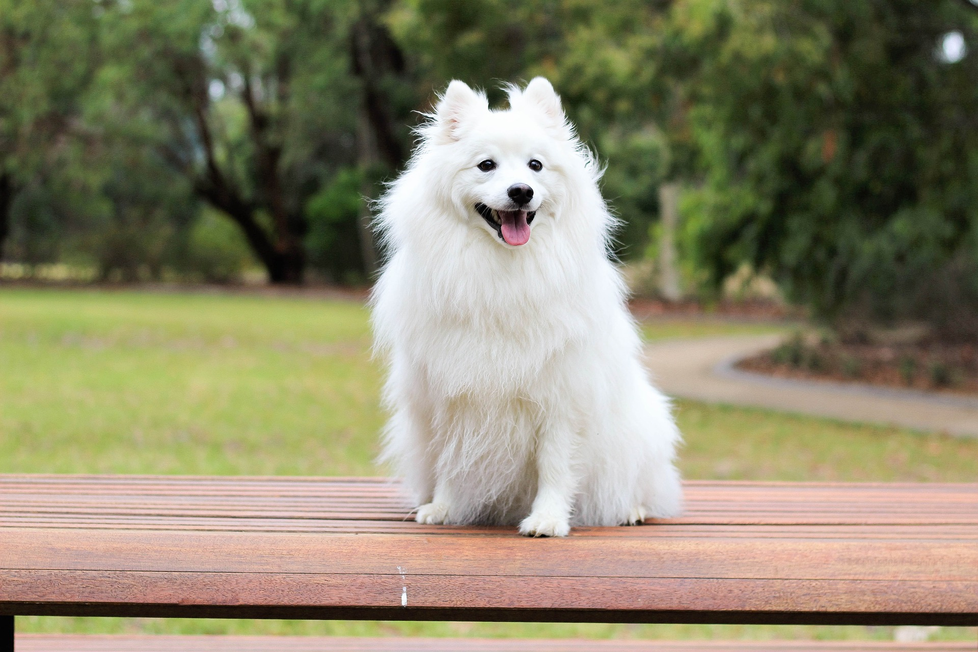 Dogs Japanese Spitz Pictures Puppys