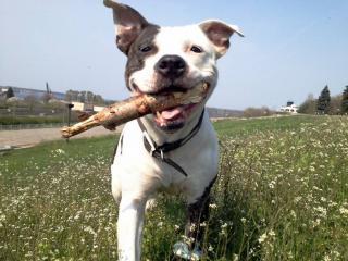 American Staffordshire Terrier robust, freundlich, treu anhänglich und gutmütig.