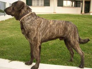 Freundlich, guter Wachhund, selbstständig, misstrauisch gegenüber Fremden