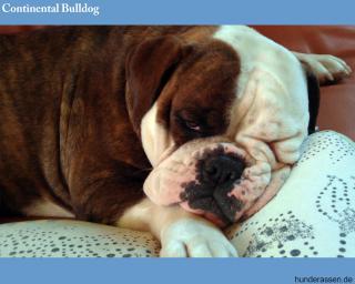 Aufmerksam, selbstsicher, freundlich weder aggressiv oder scheuer Hund. Der Englischen Bulldogge ähnlich, aber athletischer.