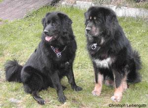 Der Do Khyi ist ein sehr aufmerksamer Schutz- und Wachhund, Fremden gegenüber mißtrauisch