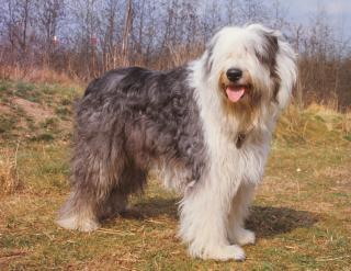 Robuster, selbstbewußter Hund, der konsequente Erziehung und engen Familienanschluß benötigt, kinderlieb, intelligent