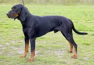 Guter Laufhund, lebhaftes Temperament, mutig und ausdauernd