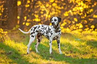Temperamentvoll, fröhlich, kinderfreundlich, Beim Kauf unbedingt das Hörvermögen des Hundes prüfen!!