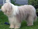 Der Bearded Collie ist ein fröhlicher und temperamentvoller Familienhund.