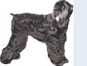 Schwarze Terrier