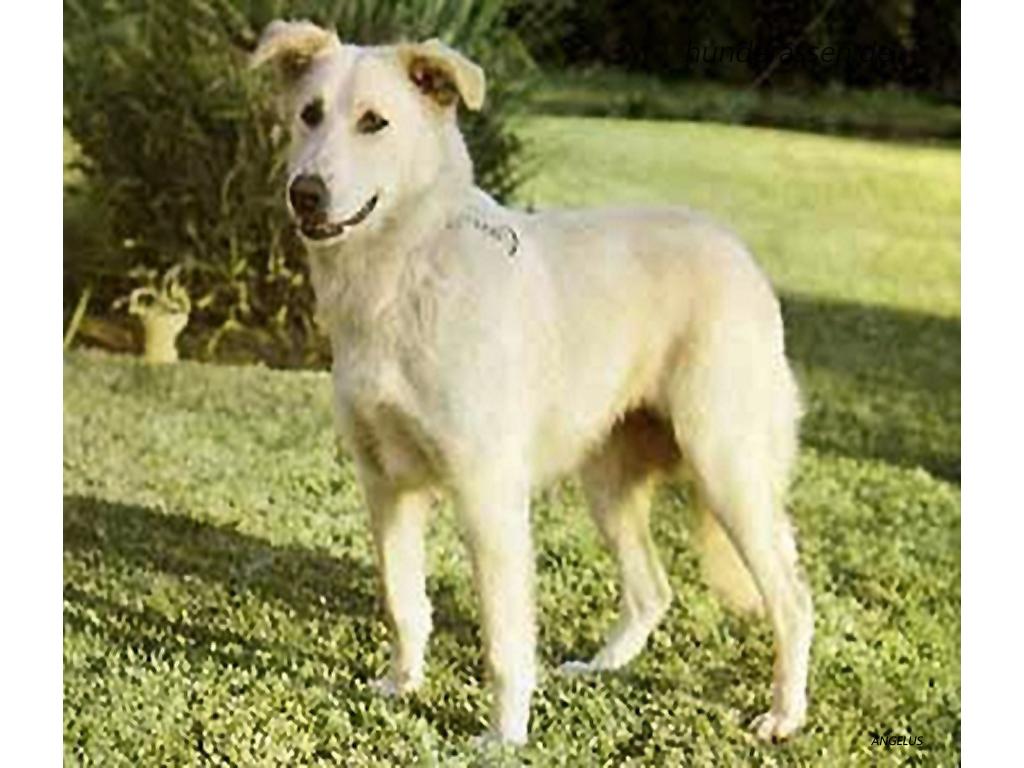 Moroccan Dog Breeds