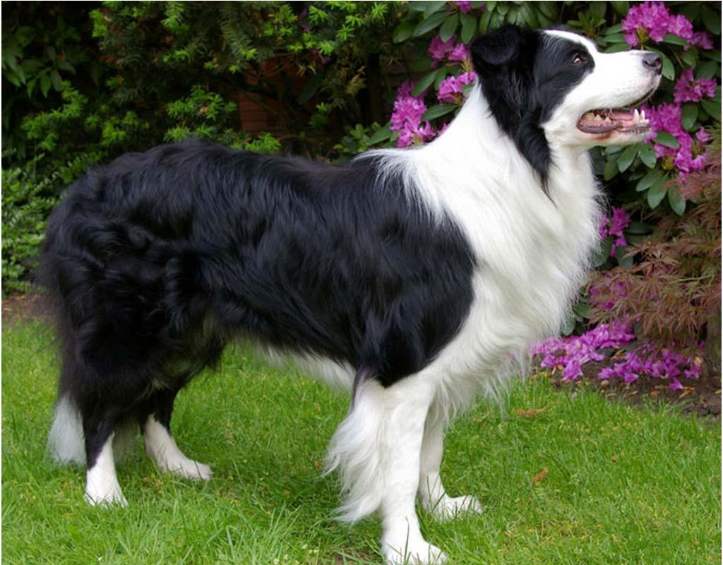 Black Mountain Dog Boarder